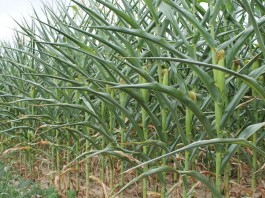 Corn during drought 2012
