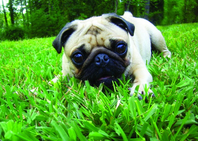 pug in grass