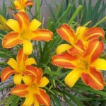 Another beautiful day lily from Betty Cusick.