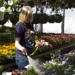 Allison Garner, a junior in the horticulture program flowers the plants in the greenhouse. These plants help to fund the garden project and others in the horticulture program.