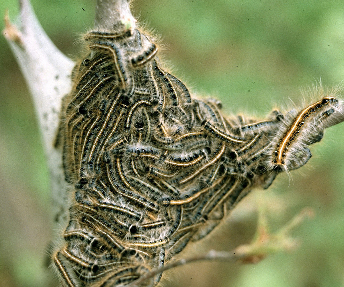 Horse Owners Should Watch For Eastern Tent Caterpillars