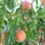 Peaches at Molnar Farms, Poland, Ohio