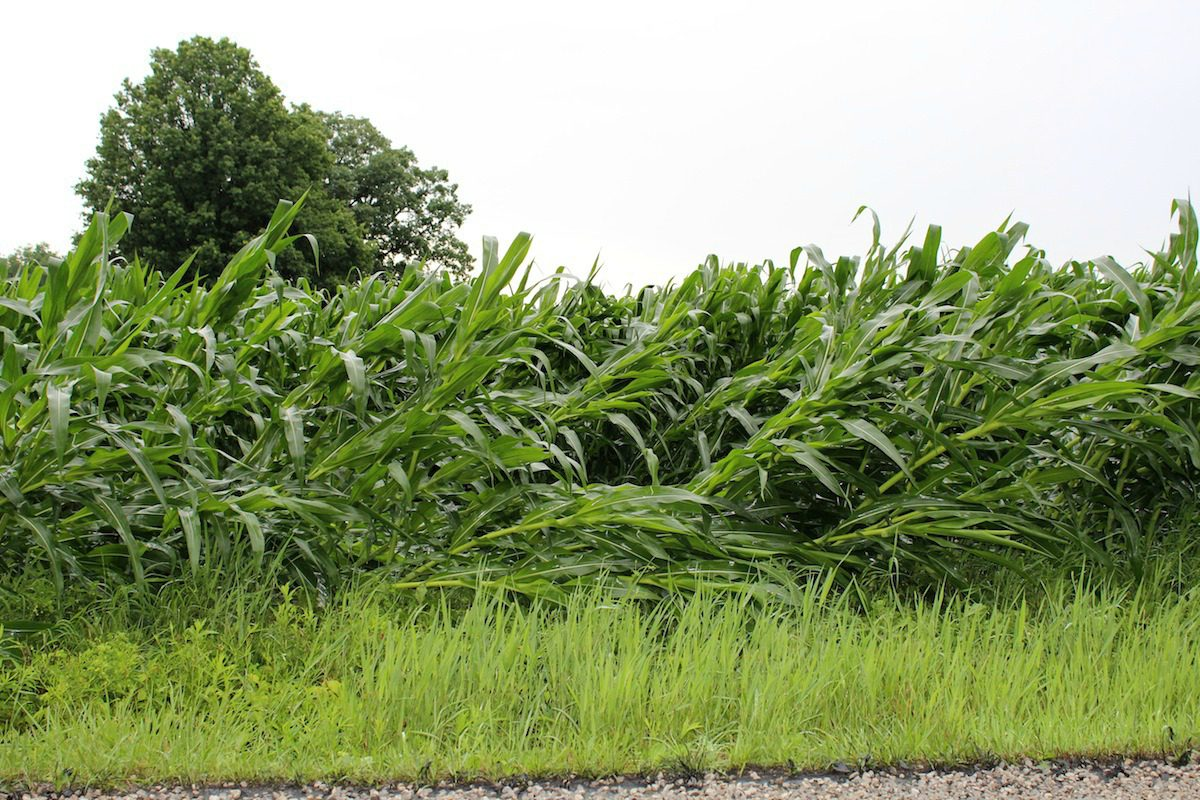 storm damaged corn