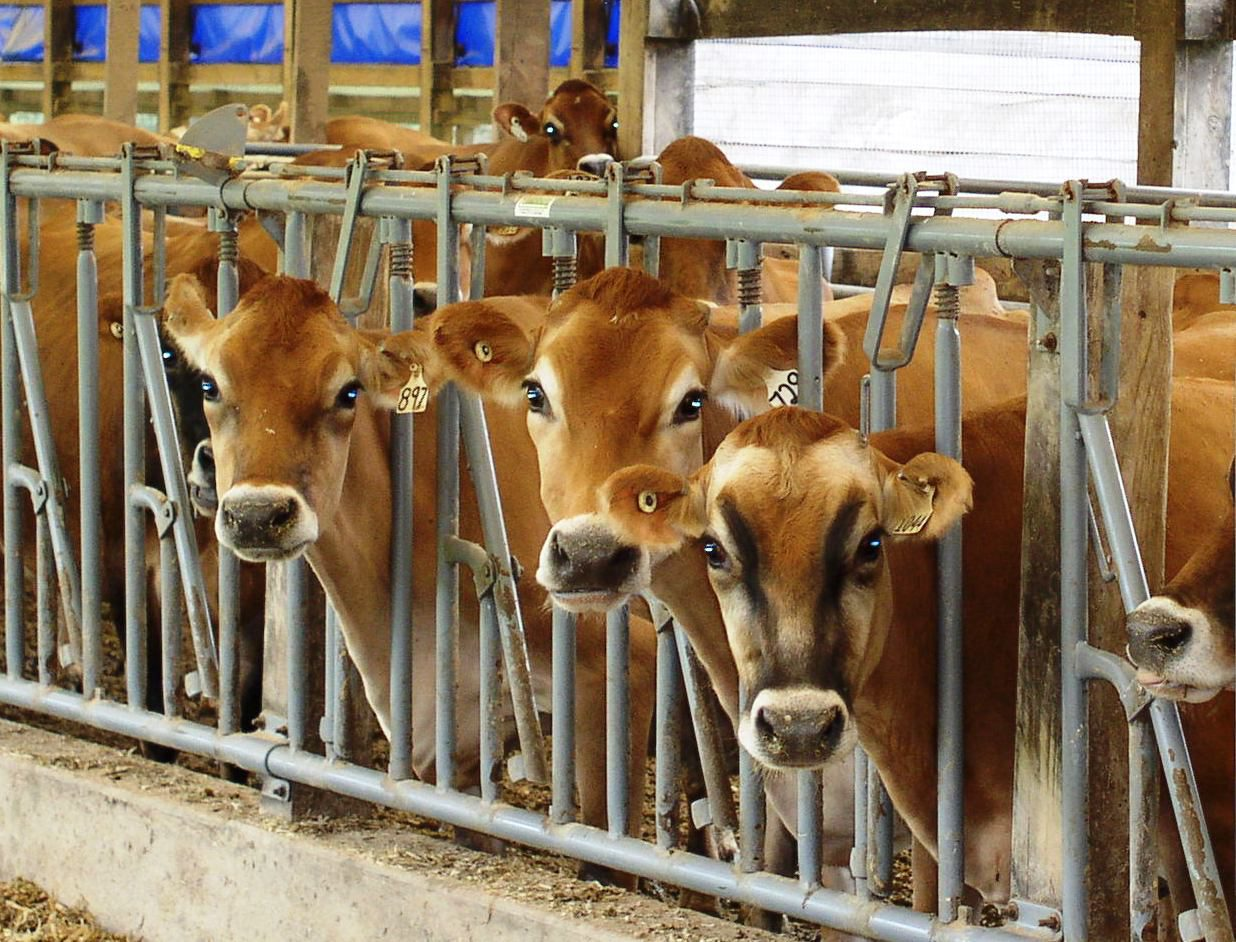 Jersey dairy cattle