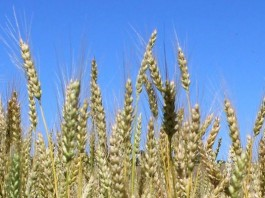 wheatfield closeup