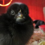 Dickie Bird Farm chick