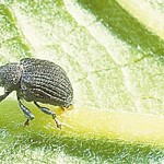 yellow poplar weevil