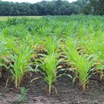 corn yellowing
