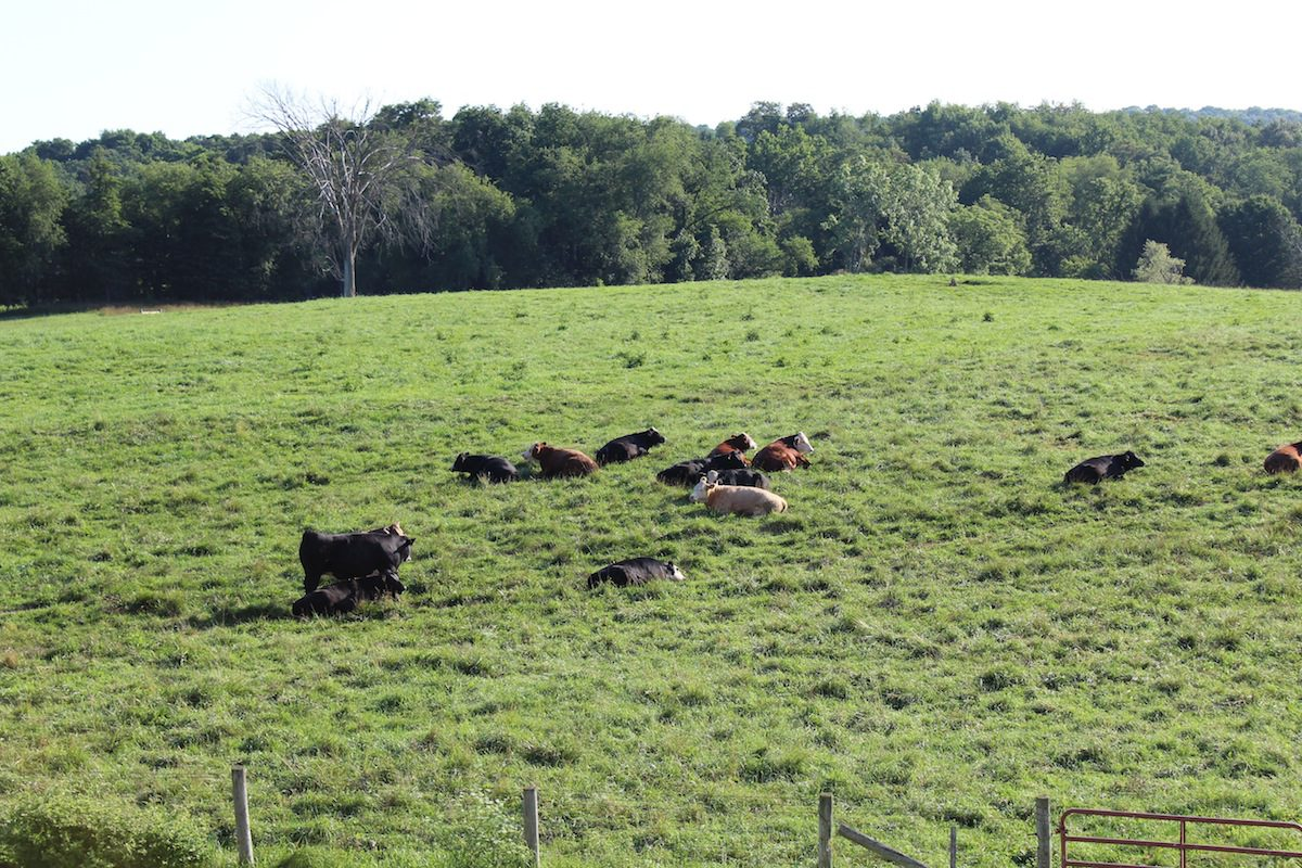 grass tetany could be looming for cattle  sheep