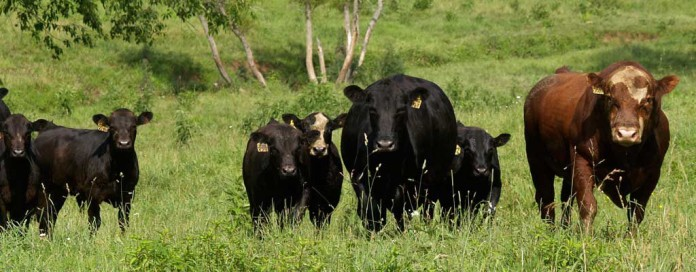 Heifers, calves and a bull in a pasture