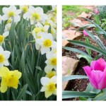fall bulbs: daffodils, tulips, peonies, irises
