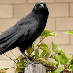 crow perched on post