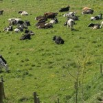 Holstein dairy cows on pasture