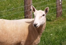 Dorset sheep