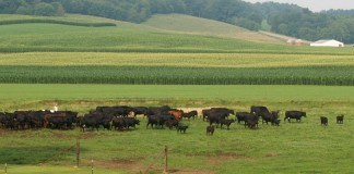 beef cattle on pasture