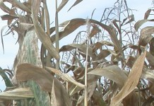 corn in fall