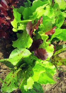 spring mix leafy greens