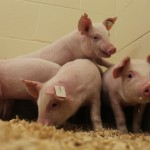 Pigs resistant to virus