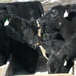 angus cattle feeding
