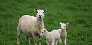 ewe and two lambs