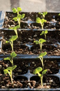 seedlings in trays