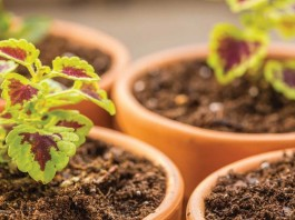 coleus seedlings