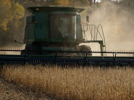 harvesting soybeans
