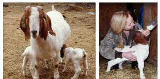 weaning goats; kids with mother