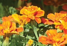 orange marigolds