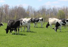 Holstein dairy cattle grazing