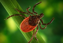 Closeup of a tick
