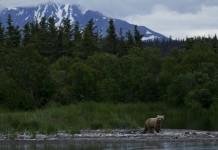 Bear at Katmai National Park, Alaska