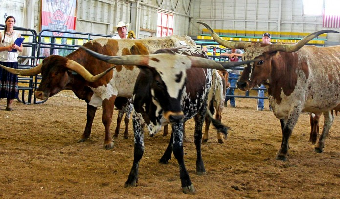 Texas longhorn owners show cattle in wooster farm and dairy for Charity motors on grand river