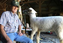 Dick Matlack sheep