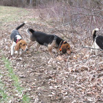 Beagles hunting