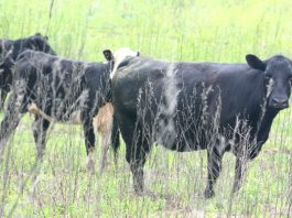 Herefords in field