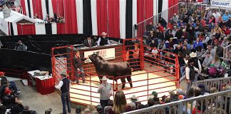 bull sale at Ohio Beef Expo