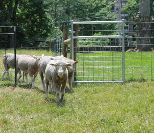Sheep walking through gate