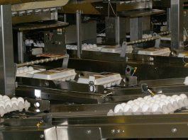 eggs on conveyor